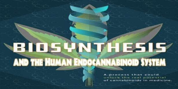 Cannabis Biosynthesis Human Endocannabiniod System