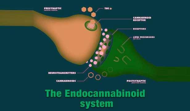 endocannabinoid-system1